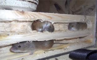 защита каркасного дома от грызунов